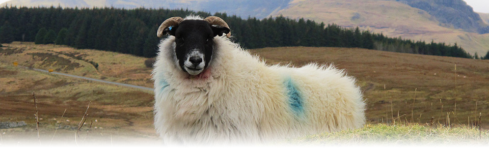 Photo of Black faced sheep, Skye