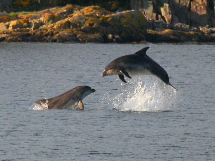 Two Dolphins jumping out of water, Skye